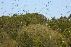 As massas de andorinhas de árvore enchem o céu em Geórgia imagens de stock royalty free