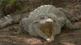 As maxilas abertas do crocodilo irritado aprontam-se para morder, Colômbia vídeos de arquivo