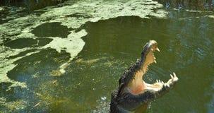 As maxilas de um crocodilo da água salgada pulam fora da água Imagem de Stock