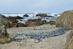 As medusa azuis lavam em terra Foto de Stock