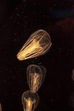 As medusa do pente chamaram o ctenophore de Filo Imagem de Stock