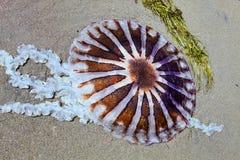 As medusa lavaram acima na costa, Paracas - Peru Imagens de Stock Royalty Free