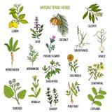 As melhores ervas anti-bacterianas Imagem de Stock