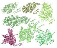 As melhores ervas perfumadas para seu esboço do vetor do jardim Fotografia de Stock