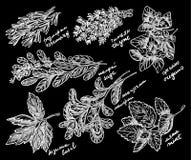 As melhores ervas perfumadas para seu esboço do vetor do jardim Fotos de Stock Royalty Free