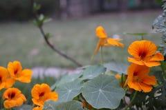 As melhores flores bonitas do jardim Foto de Stock