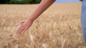As meninas fêmeas entregam o sentimento da parte superior de um campo da colheita dourada da cevada, do milho ou do trigo filme