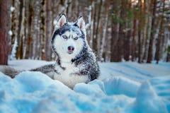 As mentiras do cão do cão de puxar trenós Siberian na neve no cão bonito da floresta do inverno produzem a cor preto e branco, ol fotografia de stock royalty free