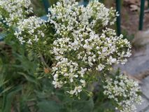 As molas das flores brancas terminaram a Espanha, Madri foto de stock royalty free