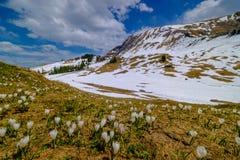 As montanhas bonitas de Suíça ajardinam com as flores de florescência do açafrão Fotografia de Stock Royalty Free