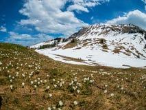 As montanhas bonitas de Suíça ajardinam com as flores de florescência do açafrão Fotos de Stock Royalty Free