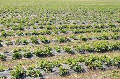As morangos crescem no campo nas fileiras Campo da morango em um dia ensolarado imagens de stock royalty free