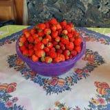 As morangos de jardim da colheita Imagem de Stock Royalty Free
