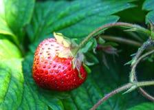 As morangos maduras crescem em uma exploração agrícola na terra Foto de Stock Royalty Free