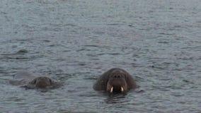 As morsas relaxam na costa próxima da água do oceano ártico em Svalbard filme