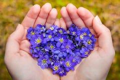 As mãos colocadas que guardam as flores violetas da mola no coração dão forma Imagem de Stock Royalty Free