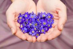 As mãos colocadas que guardam as flores violetas da mola no coração dão forma Imagem de Stock