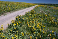 As mulas amarelas perto da flor alinharam a estrada, Mesa de Hastings, Ridgway, Colorado, EUA imagens de stock royalty free