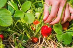 As mulheres entregam a colheita da morango orgânica fresca no campo Imagem de Stock
