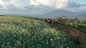 as mulheres vão na maneira dentro do campo da mostarda com a flor branca em DonDuong - Dalat- Vietname imagens de stock royalty free