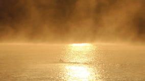 As nadadas do homem novo rastejam em um lago dourado enevoado no slo-mo filme