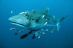 As nadadas do tubarão de baleia fecham-se foto de stock