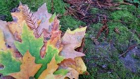 As naturezas possuem as folhas pasteis artísticas As mudanças do outono trazem a coloração bonita às folhas de bordo foto de stock