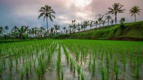 As nuvens de Timelapse sobre um arroz novo colocam na ilha de Bali, Indonésia filme