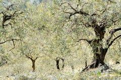 As oliveiras ensolaradas colocam, apenas podado, com colocação de alguns prunings imagem de stock