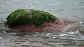 As ondas do mar enxáguam uma rocha coberta com as algas vídeos de arquivo