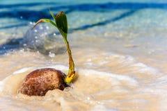 As ondas do mar são pulverizadas em um coco caído imagens de stock royalty free