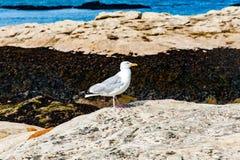 As opiniões de Diferents a gaivota do thea em St Andrews encalham em sua baía, Imagens de Stock Royalty Free