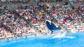 As orcas executam o salto mortal Fotografia de Stock