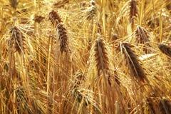 As orelhas amarelas de pontos maduros da cevada no campo na exploração agrícola Imagem de Stock