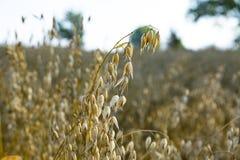 as orelhas da aveia madura no verão colocam Foto de Stock Royalty Free