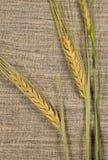 As orelhas do trigo fecham-se acima Fotos de Stock