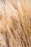 As orelhas maduras do trigo fecham-se acima da vista Imagens de Stock Royalty Free