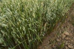 As orelhas verdes da aveia do trigo crescem da terra agricultura Produto da natureza Fotografia de Stock