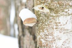As in other polypores, the fruiting body is perennial with a new layer of pores produced each year on the bottom of the old pores. Fomitopsis pinicola, is a stem Royalty Free Stock Images