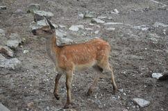 As ovas pedem o deleite no jardim zoológico de Kaliningrad Rússia Fotografia de Stock Royalty Free