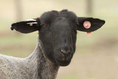 As ovelhas negras enfrentam com as etiquetas na orelha Imagem de Stock Royalty Free