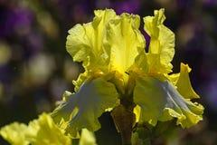 As pétalas amarelas da íris brilham através do sol brilhante fotos de stock