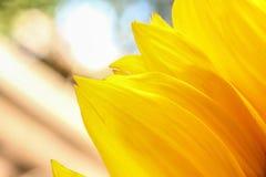 As pétalas brilhantes do girassol fecham-se acima em um fundo claro Imagens de Stock Royalty Free