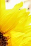 As pétalas brilhantes do girassol fecham-se acima em um fundo claro Imagem de Stock Royalty Free