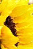 As pétalas brilhantes do girassol fecham-se acima em um fundo claro Foto de Stock Royalty Free