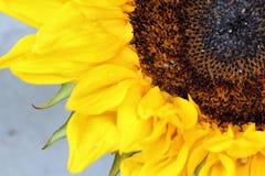 As pétalas brilhantes do girassol fecham-se acima em um fundo claro Fotografia de Stock
