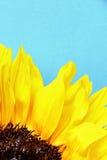 As pétalas brilhantes do girassol fecham-se acima em uma luz - fundo azul Foto de Stock Royalty Free