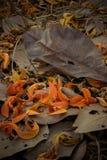 As pétalas caídas do monosperma do Butea e secam as folhas na terra Foco de Selectve Fotografia de Stock Royalty Free