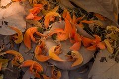 As pétalas caídas do monosperma do Butea e secam as folhas na terra Foco de Selectve Imagens de Stock