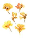 As pétalas comprimidas da chagas espalharam isolado para fora no branco Imagem de Stock Royalty Free